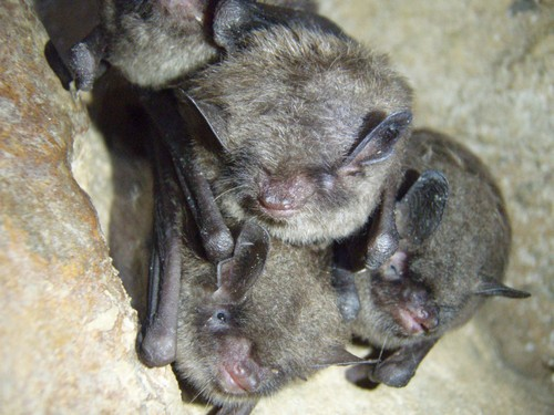interesting_facts_about_bat2