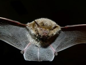 interesting_facts_about_bat8