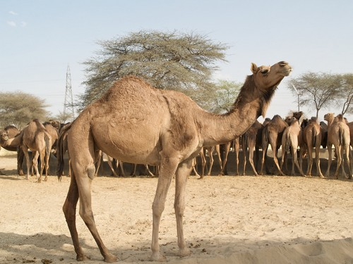 40+ Amazing Facts About Camel   AnimalsPal