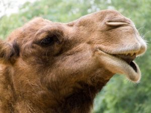 interesting_facts_about_camel8