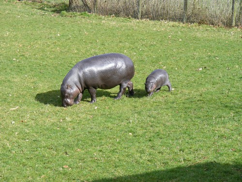 interesting_facts_about_hippo5