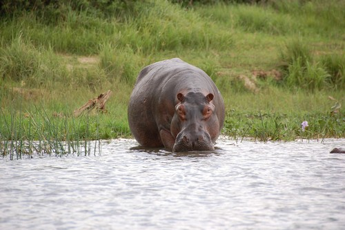 interesting_facts_about_hippo7
