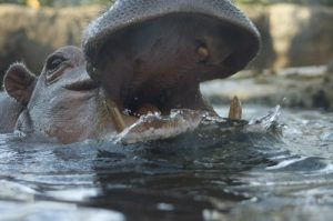 interesting_facts_about_hippo8