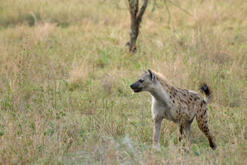 interesting_facts_about_hyena1