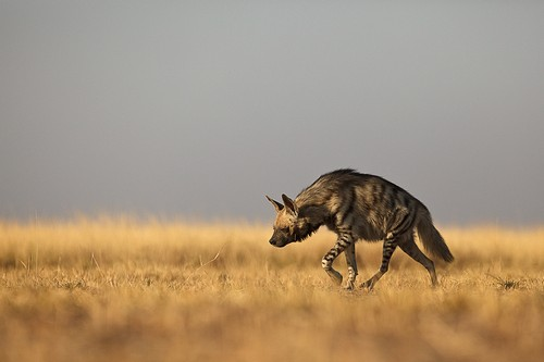 interesting_facts_about_hyena3