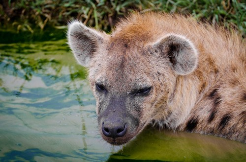 interesting_facts_about_hyena5