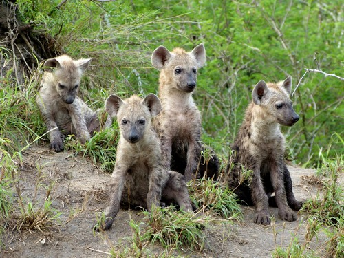 interesting_facts_about_hyena7