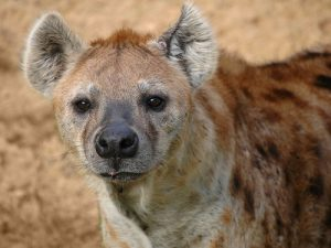 interesting_facts_about_hyena8