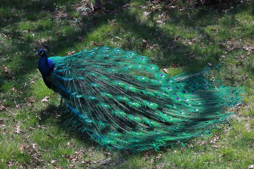interesting_facts_about_peacocks2