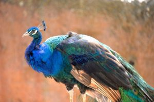 interesting_facts_about_peacocks8