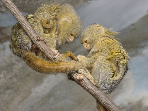 interesting_facts_about_pygmy-marmoset1