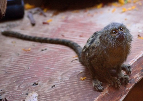 interesting_facts_about_pygmy-marmoset2