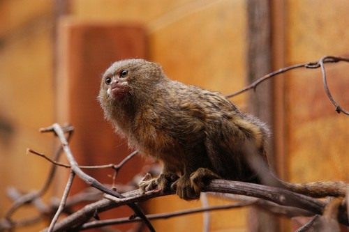 interesting_facts_about_pygmy-marmoset3