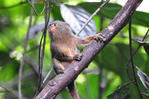 interesting_facts_about_pygmy-marmoset4