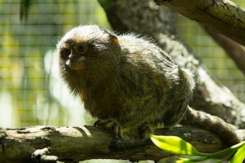 interesting_facts_about_pygmy-marmoset6