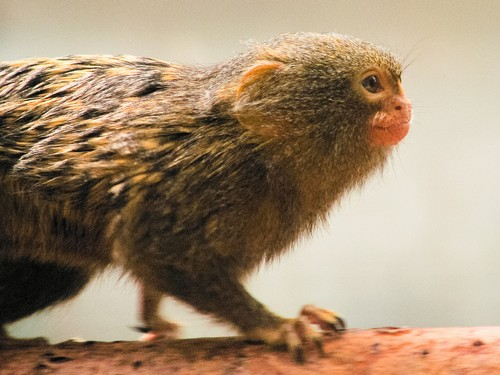 interesting_facts_about_pygmy-marmoset7