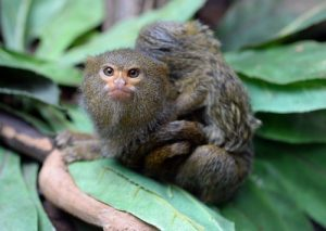 interesting_facts_about_pygmy-marmoset8