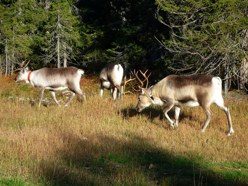 interesting_facts_about_reindeer5