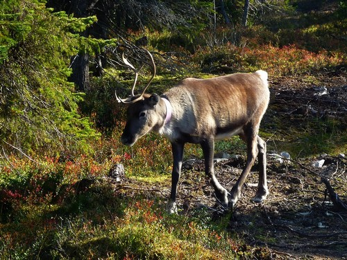 interesting_facts_about_reindeer6