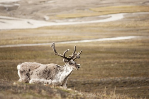 Interesting_Facts_About_Reindeer8-ap