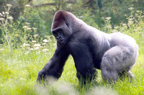 interesting_facts_about_gorilla1