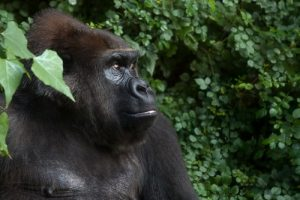 interesting_facts_about_gorilla8