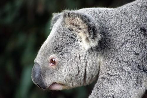 interesting_facts_about_koala2