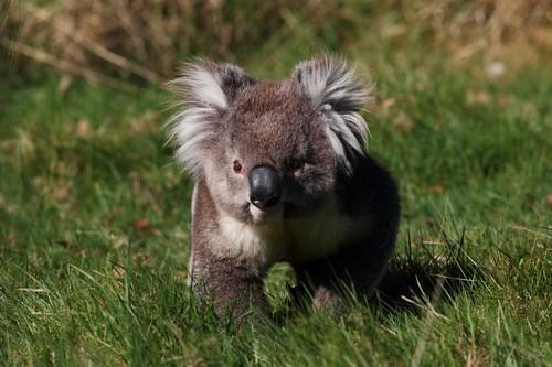interesting_facts_about_koala3