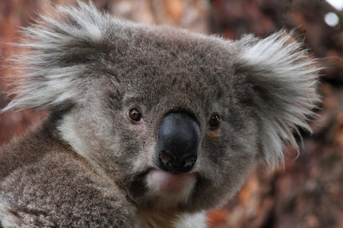 interesting_facts_about_koala4