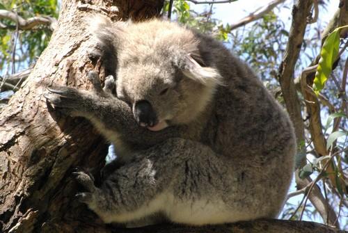 interesting_facts_about_koala5
