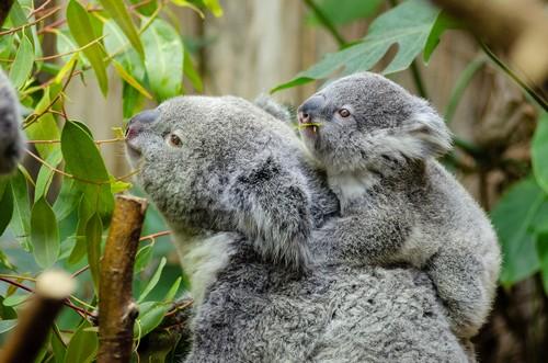 interesting_facts_about_koala7