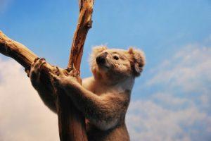 interesting_facts_about_koala8