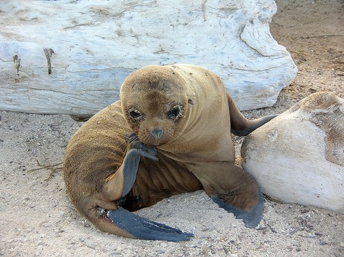 interesting_facts_about_sealion1