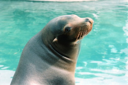 interesting_facts_about_sealion2