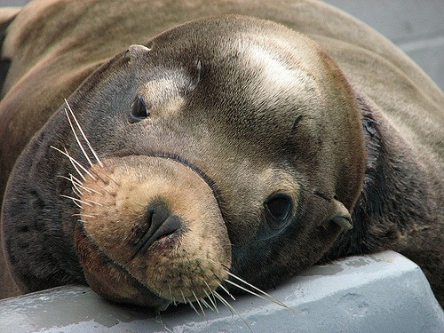 interesting_facts_about_sealion3