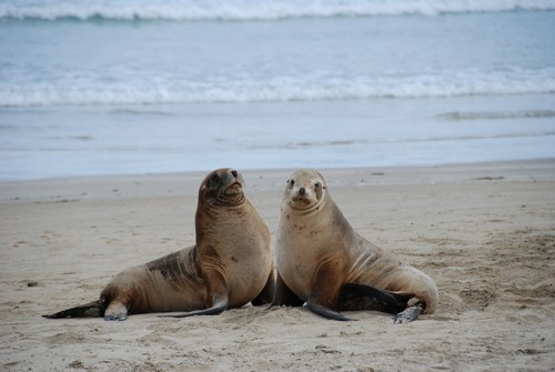 interesting_facts_about_sealion6