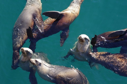interesting_facts_about_sealion7