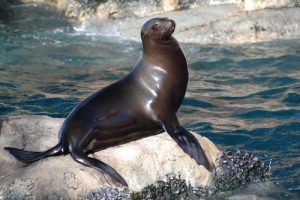 interesting_facts_about_sealion8