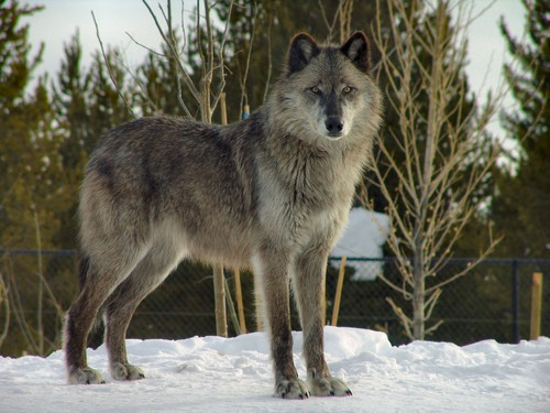 interesting_facts_about_wolf1