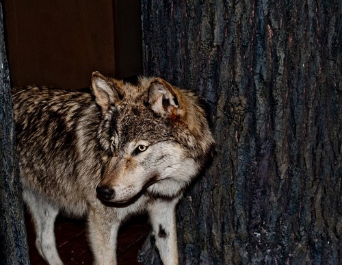 interesting_facts_about_wolf2