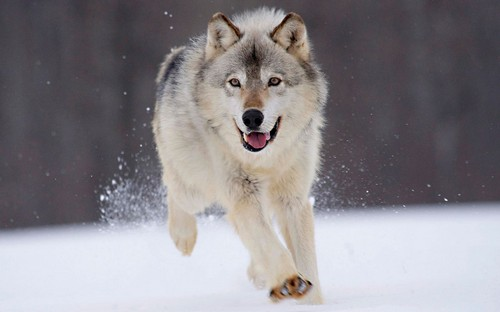interesting_facts_about_wolf3