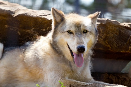 interesting_facts_about_wolf6