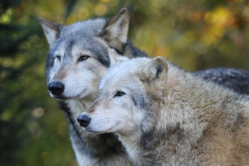 interesting_facts_about_wolf7