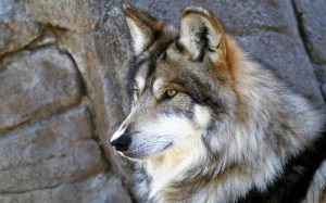 interesting_facts_about_wolf8