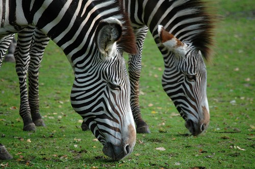 interesting_facts_about_zebra2