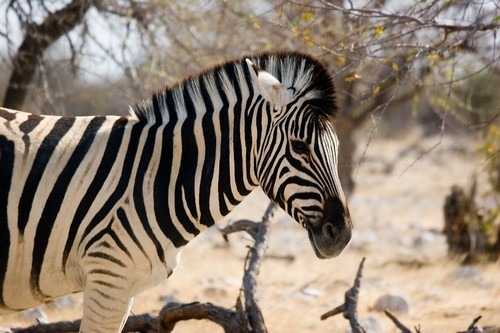 interesting_facts_about_zebra3