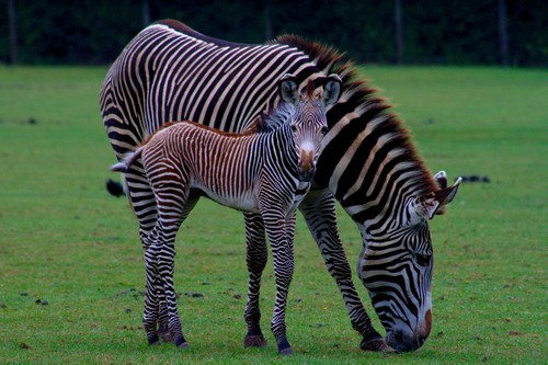 interesting_facts_about_zebra4