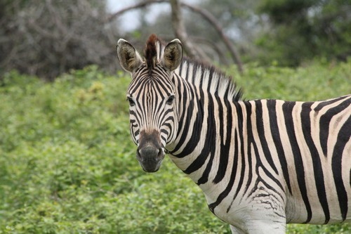 interesting_facts_about_zebra5