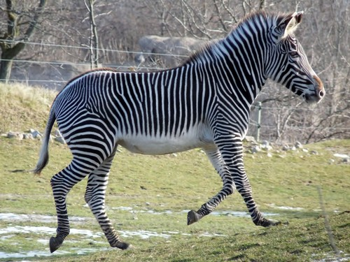 interesting_facts_about_zebra6