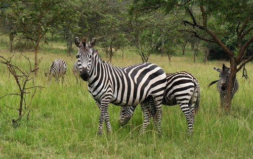 interesting_facts_about_zebra7